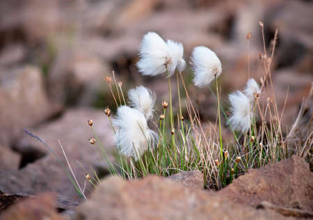 Arctic cottongrass in the Highland of Iceland