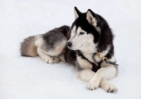 Siberian husky dog lying on snow Stock Photo