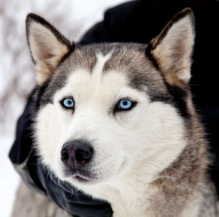 Portrait of siberian husky dog with blue eyes