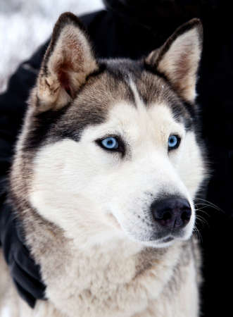 Portrait of siberian husky dog with blue eyes intently looking forward Stock Photo