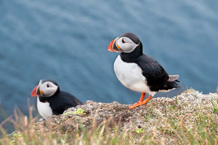 Two Puffins standing on a grassy cliff. Latrabjarg, Westfjords of Iceland. Stock Photo