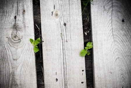 Two young sprouts growing from under the wooden boards  Stock Photo
