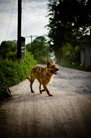 Brown dog on the village road