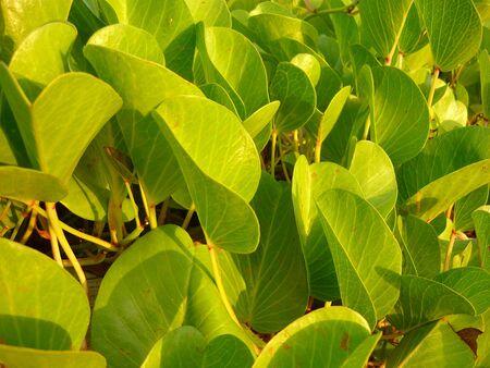 creeping plant: creeping plant beach purple flower, leaf detail Stock Photo