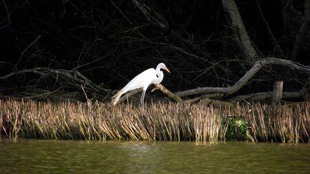 mangroves: White Heron among mangroves