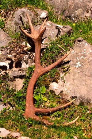 pyrenean: Antle di cervo cervus elaphus caduti nella Ezkaurre montagna, basco pirenei