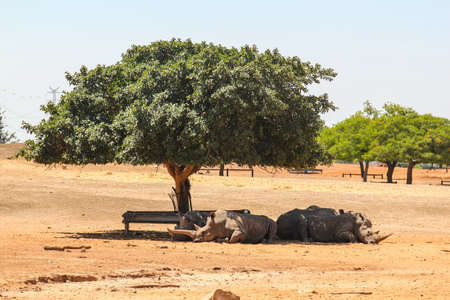 rhinos resting in the shade of a tree in israel Stock Photo