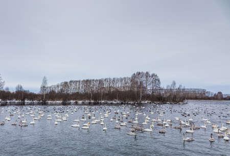 Wild swans winter on the warm Svetloye lake near the village of Urozhaynoe, Altai, Russia Stock Photo - 112788746