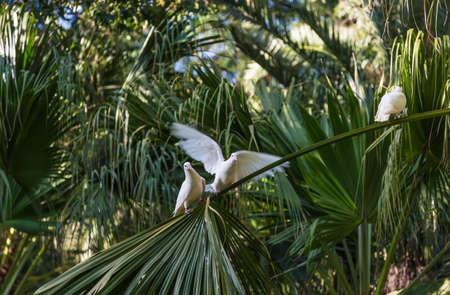 White doves on palm branches in the park of Marie-Louise in Seville, Spain.
