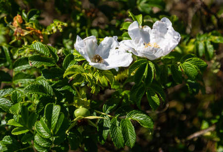 Leaves, flowers and fruits of white wild rose on the Curonian Spit, Russia