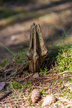 A sliver with knots from an old tree sticks out of the ground and pine cones on the Curonian Spit, Russia are near.