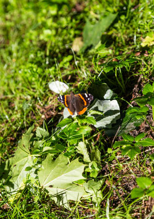 A beautiful butterfly sits on the grass spread its wings, and next are maple leaves on the Curonian Spit, Russia