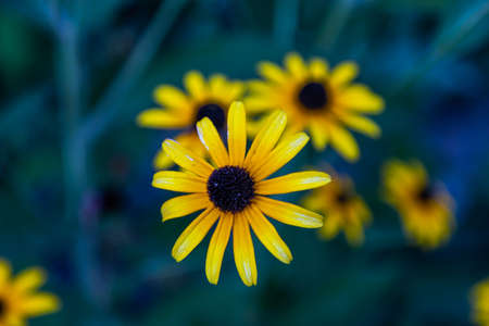 Yellow daisies on a blue-green background. Perfect for screen saver or wallpaper on screen. Фото со стока
