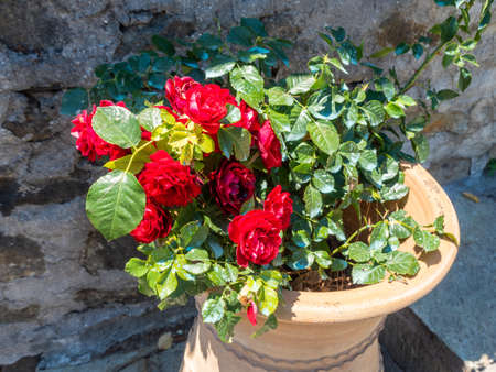 Flower pot in the form of a vase with a bush of scarlet roses in the Megala Meteora monastery in Meteora region, Greece Stock Photo