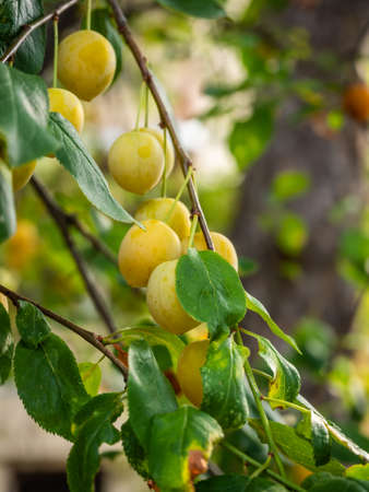 Ripe tasty yellow plums on a branch among the foliage in Greece