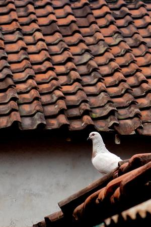 white bird: a white bird on the roof