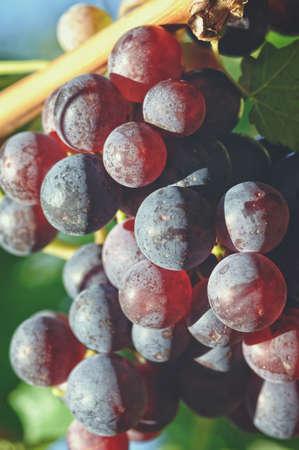 red grape: Bunch Red Grape Vine Stock Photo