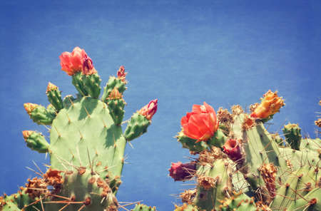 Prickly pears (Indian fig opuntia)  with copy space Stock Photo