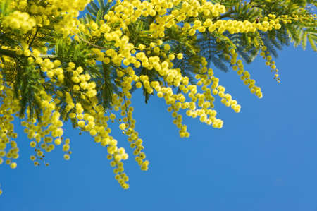 copy space: Mimosa flowers with copy space