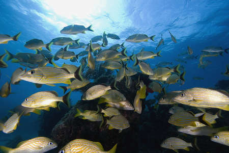 Schooling tropical underwater fish