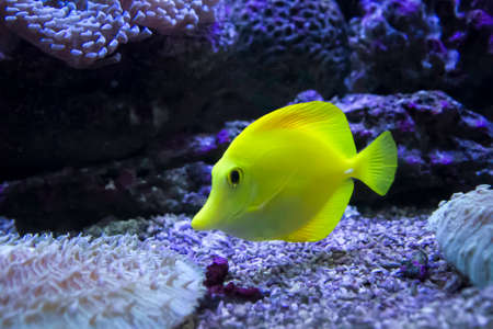 yellow tang: Yellow tang in the water