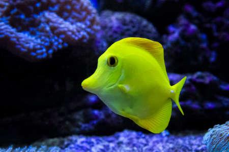 yellow tang: Yellow tang in the water
