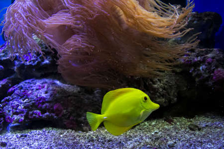 tang: Yellow tang in the water
