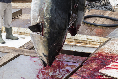 Atlantic Bluefin tuna caught by the Almadraba maze net system and hanging at harbor pier. Barbate, Cadiz, Andalusia, Spain.