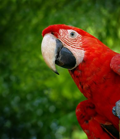 Green wing macaw or parrot bird on green tree background photo