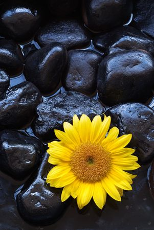 traquility: Aromatherapy spa yellow sunflower on black rocks and water