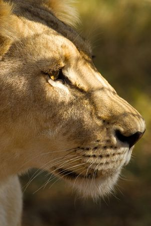 African lioness portrait Stock Photo - 3203422