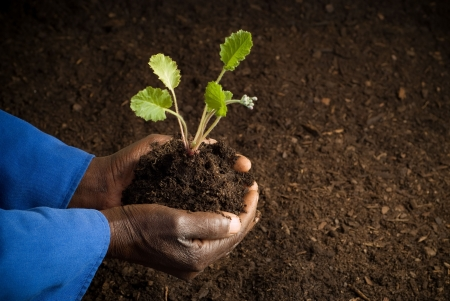 African American Farmer Holding New Plant in Hands Stock Photo