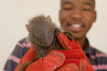 howick: HOWICK - 26 FEBRUARY 2013: A juvenile grey mongoose rescued from the African muti trade is held by Israel Silevu at the FreeMe wildlife centre near Howick, South Africa, 26 February, 2013.