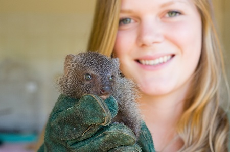 HOWICK - 26 FEBRUARY 2013: A juvenile grey mongoose rescued from the African