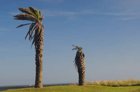 Two palm trees in the wind in a garden with grass, grass and the ocean in the background