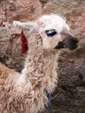 Cute llama on sidewalk in streets of Cusco, Peru.