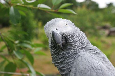 erithacus: Portrait of an african grey parrot  (Psittacus erithacus) Stock Photo