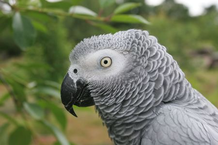 Portrait of an african grey parrot (Psittacus erithacus)