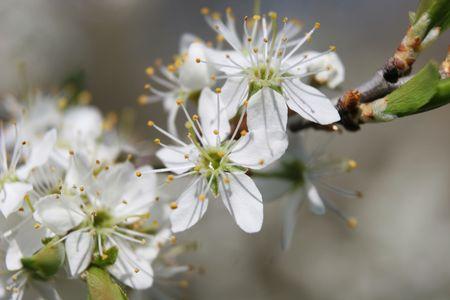 Apple tree blossom at spring