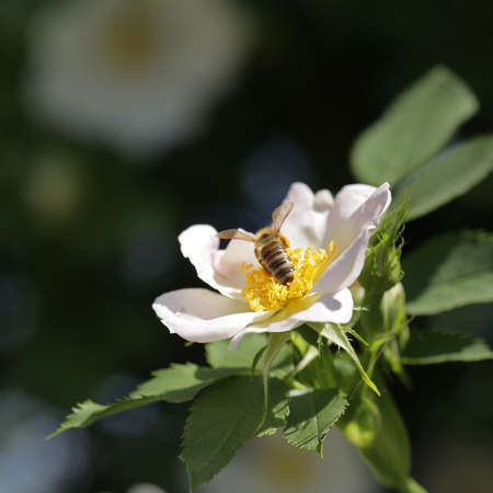 pollinate: Bee pollinate white flower