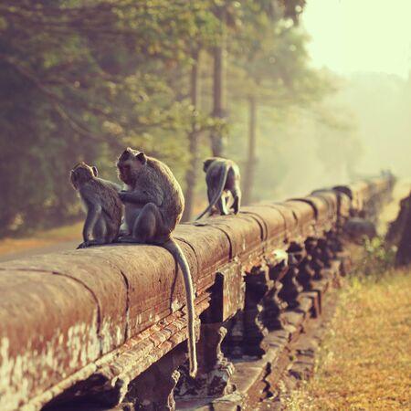 angkor wat: Long-tailed Macaque Monkey sitting on ancient ruins of Angkor Wat.