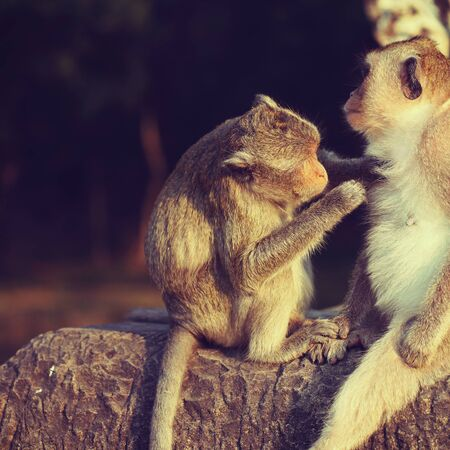 Long-tailed Macaque Monkey grooming on ancient ruins of Angkor Wat.