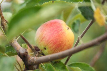 Branch of healthy fresh organic green apple