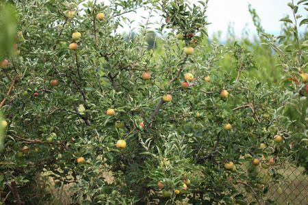 Branch of healthy fresh organic green apples