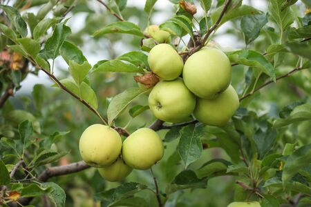 Branch of healthy fresh organic green apples
