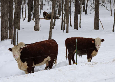 Hereford Cattle (Bos Taurus) at pasture in the winter with round bale feeder in background