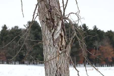 Dead Elm Tree in winter caused by Dutch Elm Disease (DED) (Ophiostoma ulmi)