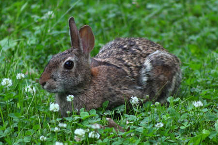 Cottontail Rabbit eating grass and white clover on a spring day in Wisconsin