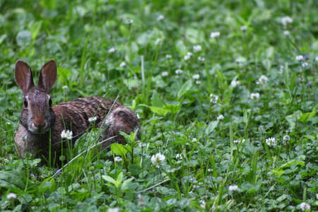 Cottontail Rabbit eating grass and white clover on a spring day in Wisconsin, space for writing