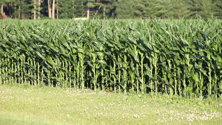 Corn, also known as Maize (zea mays) growing in Wisconsin during summer